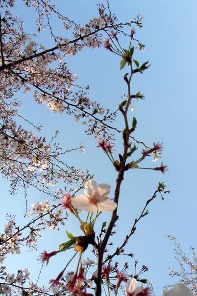 Sakurasakusou